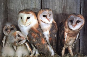 00001.jpg barn owl family